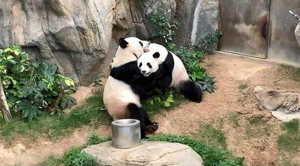 "Две панди в зоопарка ""Ocean Park"" в Хонконг са се"