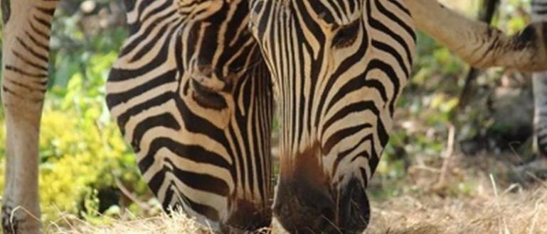 Софийският зоопарк се сдоби със стадо от зебри, съобщиха от