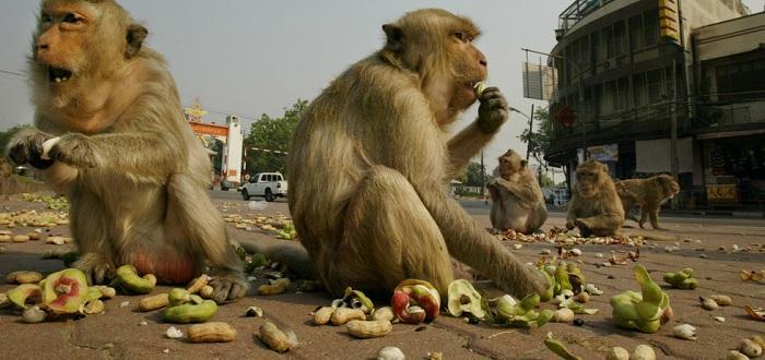 Диви маймуни съсипват спокойствието на туристи в Тайланд - вместо