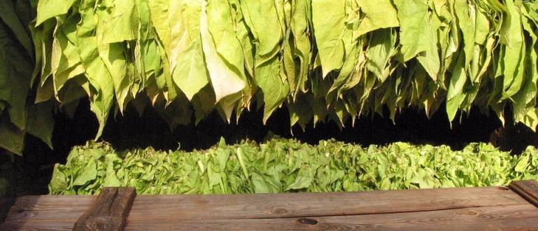 Снимка: Започна изкупуването на тютюна