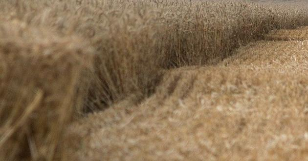 5,4 млн. тона са очакваните добиви от пшеница това лято.