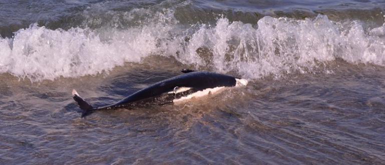 Този вид морски бозайници могат да живеят до 36 годиниВ