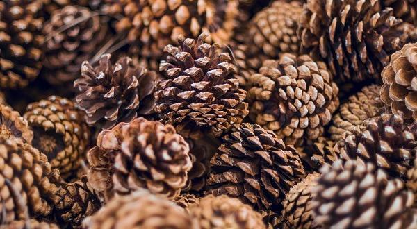 Финландската горска администрация обяви създаването на стратегически запас от борови