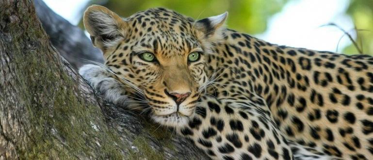 Германската полиция разследва нападение на леопард срещу манекенка на 36