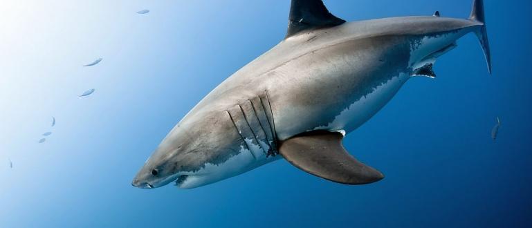 Голяма бяла акулаза първи път беше видяна впротока Лонг айлънд