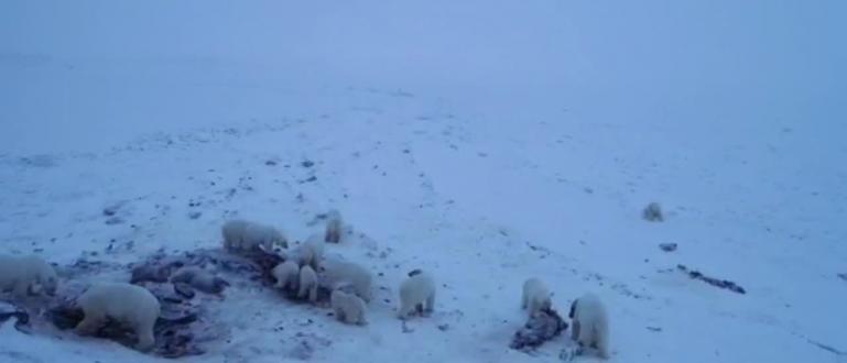 56 бели мечкисе събраха край селище в Чукотка в североизточната