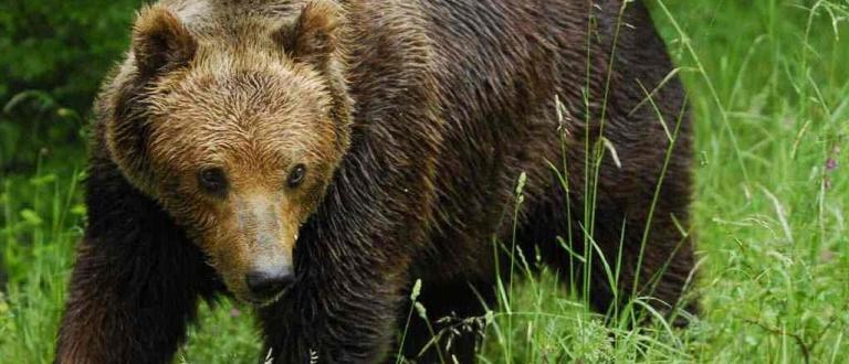 Кафява мечка нападна 47-годишен мъж по време на организиран лов