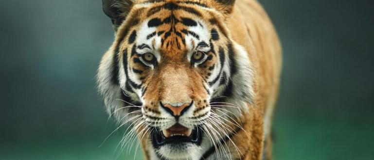 Двегодишно израелско момиченце е билонападнато от тигър на тайландския остров