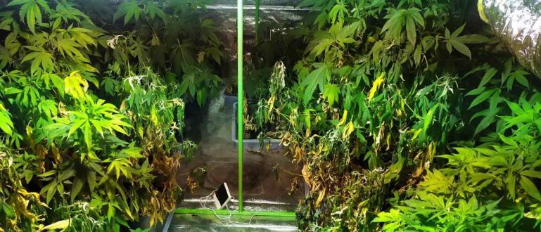 Оранжерия за отглеждане на канабис е открита в хотел в