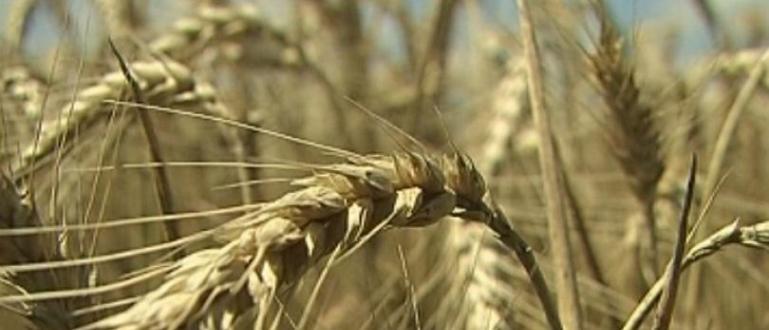 На прага на жътвата, земеделците в Добричко очакват добивите от