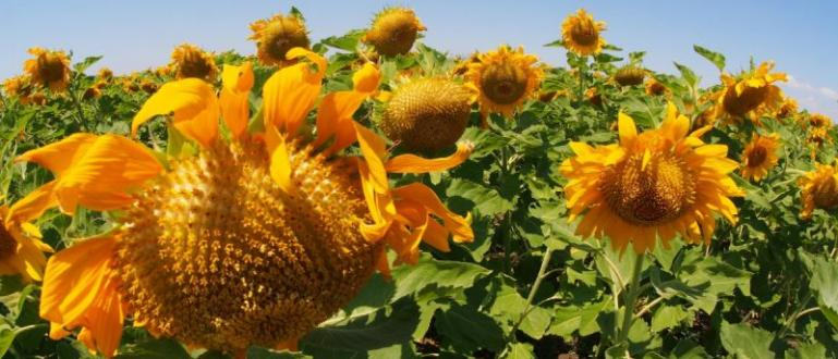 Добивите от слънчогледовите посеви тази година ще са рекордно ниски,