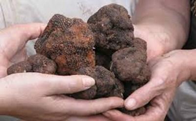 Снимка: Откриха нов вид черен трюфел у нас