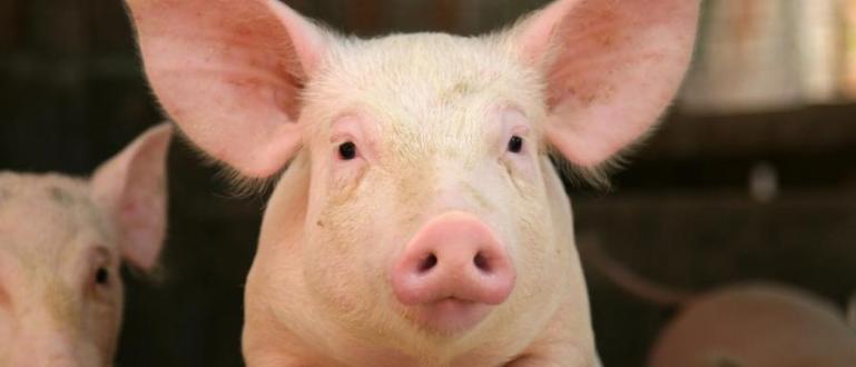 Започна умъртвяването на 17 000 прасетаот свинекомплекса в село Николово,