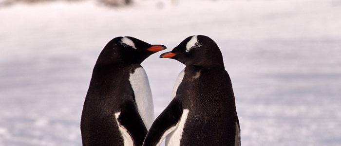 """Скипър и Пинг били """"отличен"""" избор като родителиДвойка пингвини гейове"""